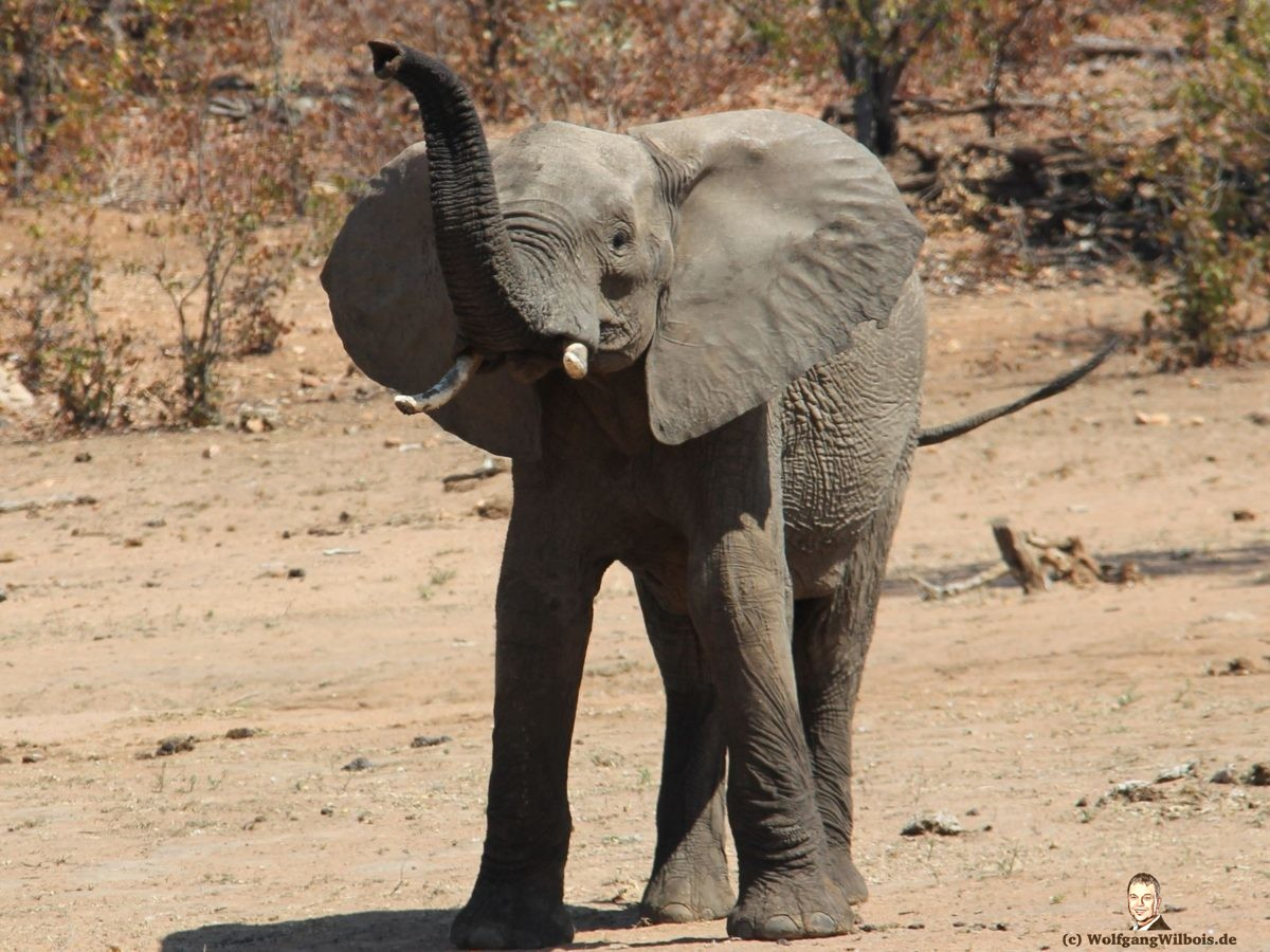 Suedafrika Krueger Nationalpark Elefant Drohgebaerden
