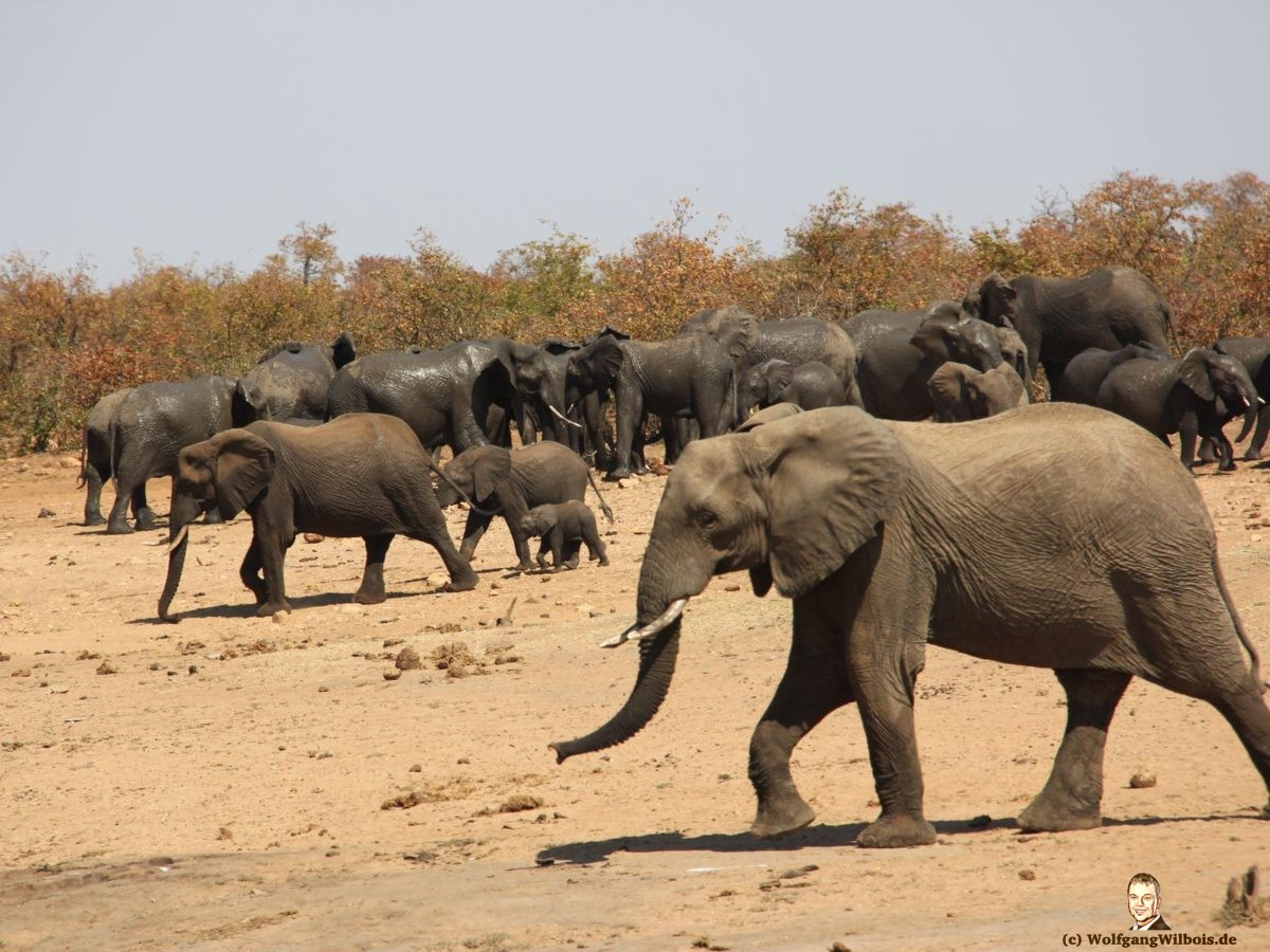 Suedafrika Krueger Nationalpark Elefantenherde