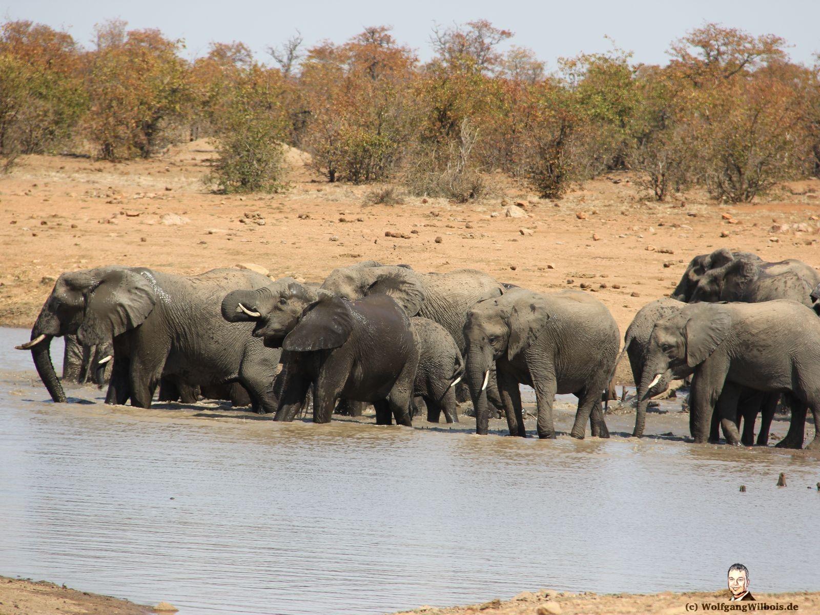 Suedafrika Krueger Nationalpark Elefantenherde baden