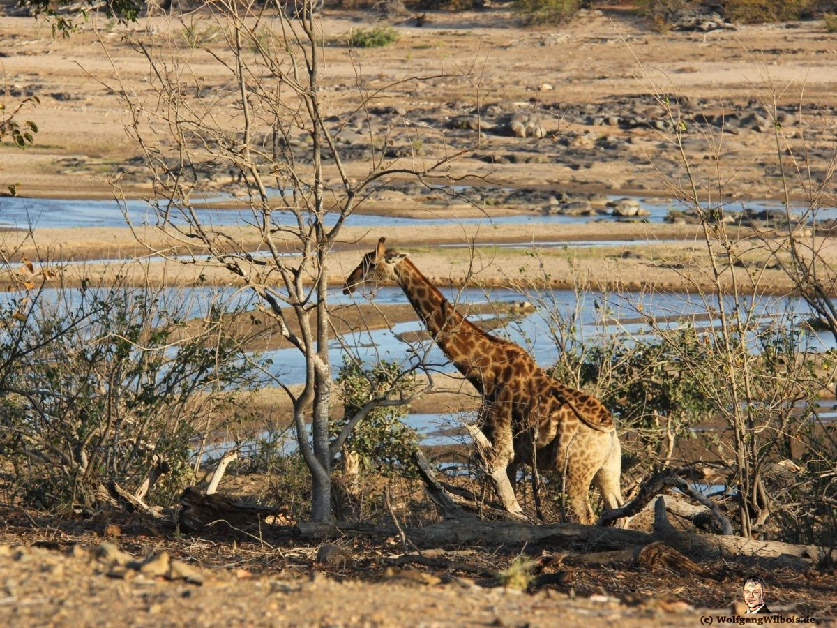 Suedafrika Krueger Nationalpark Giraffe