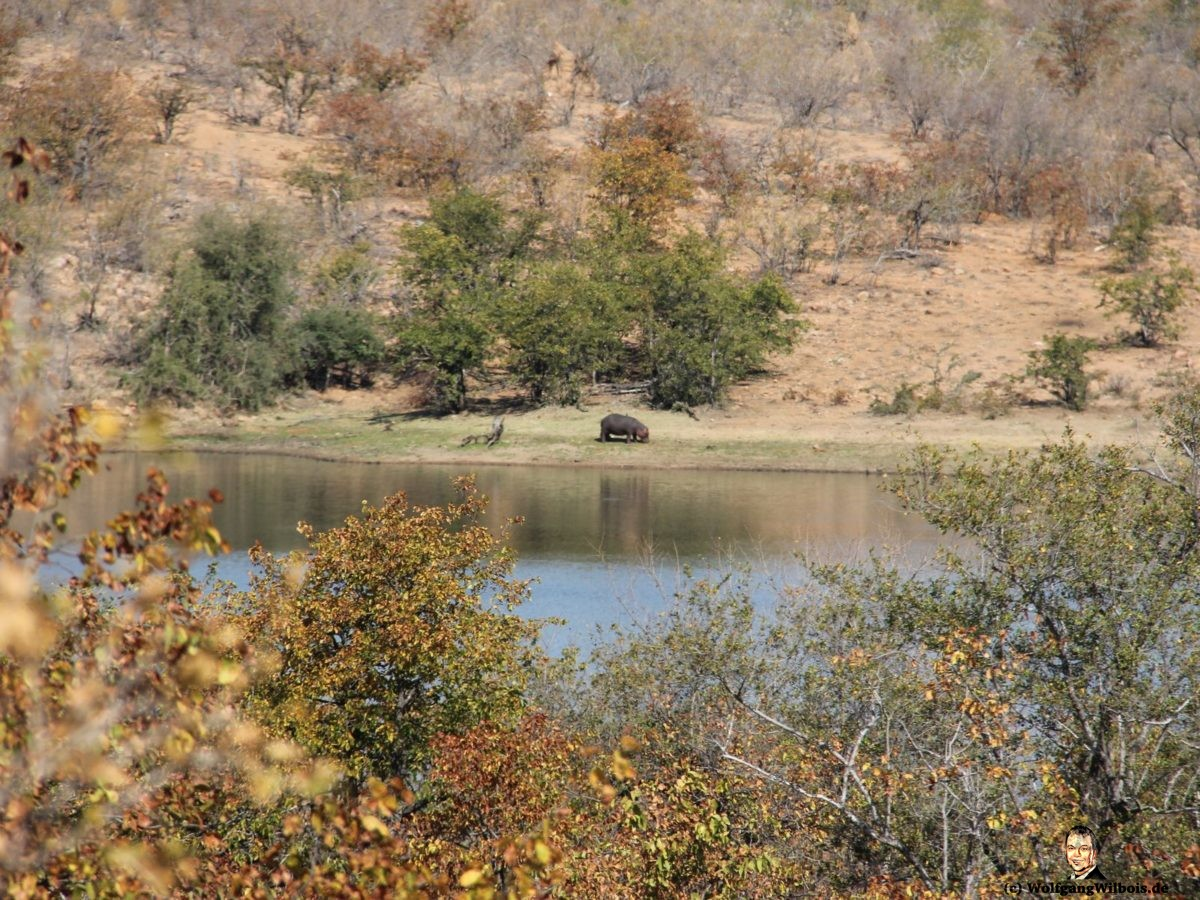 Suedafrika Krueger Nationalpark Hippo Flusspferd