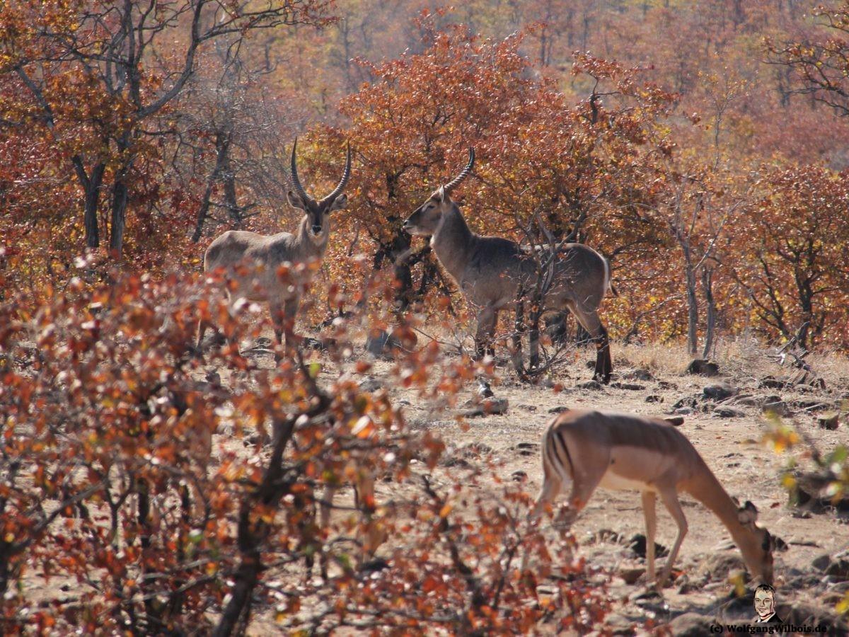 Suedafrika Krueger Nationalpark Antilopen