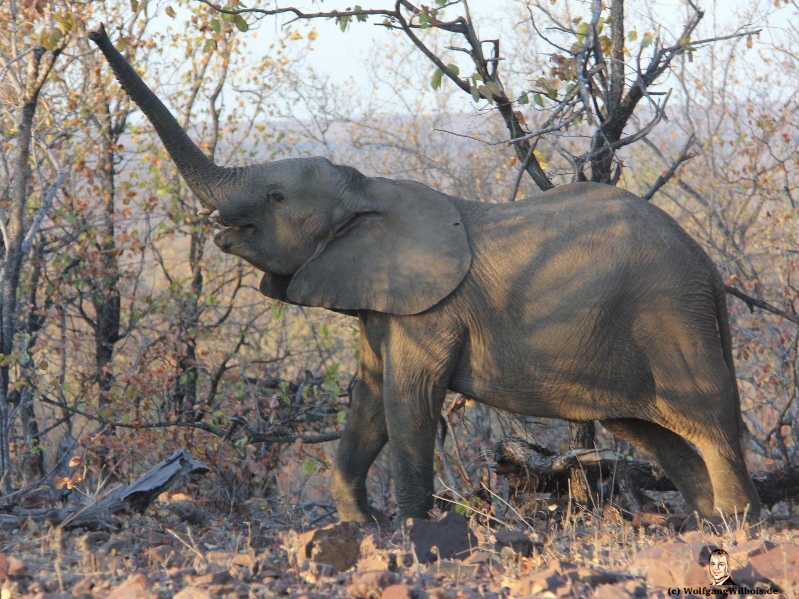 Suedafrika Krueger Nationalpark junger Elefant