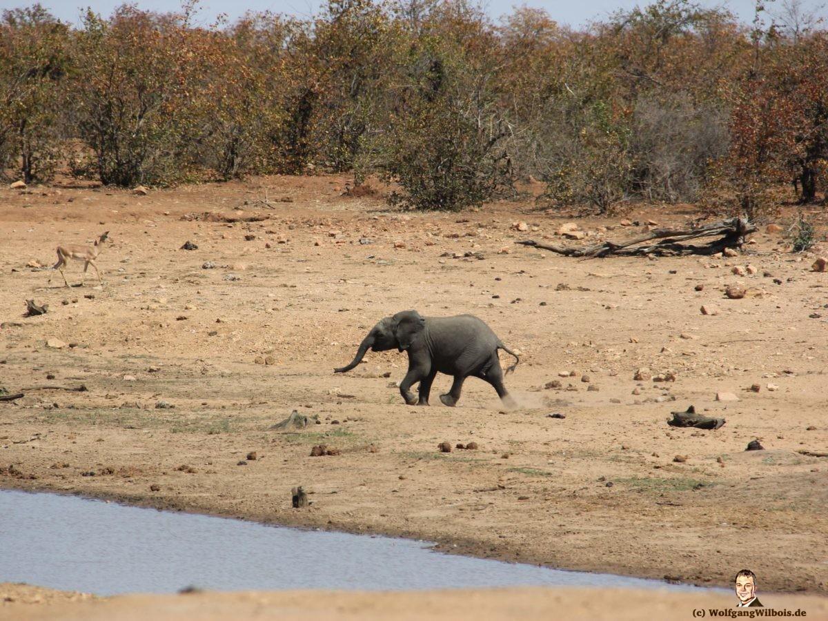 Suedafrika Krueger Nationalpark kleiner Elefant