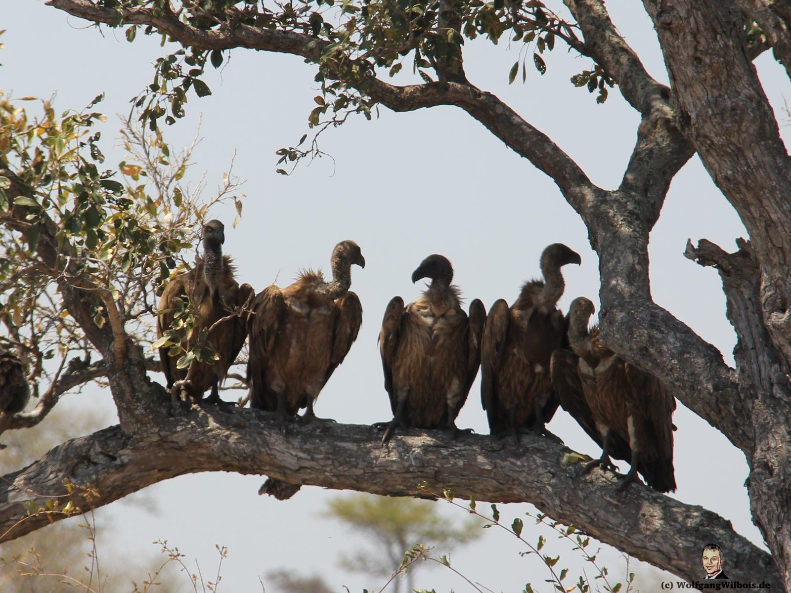Suedafrika Krueger Nationalpark Geier