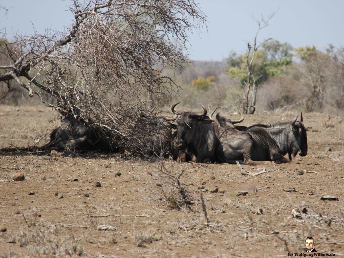Suedafrika Krueger Nationalpark Gnus
