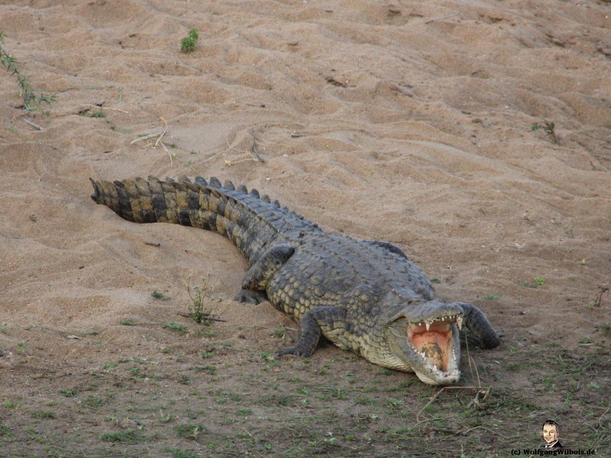 Suedafrika Krueger Nationalpark Krokodil Crocodile Bridge