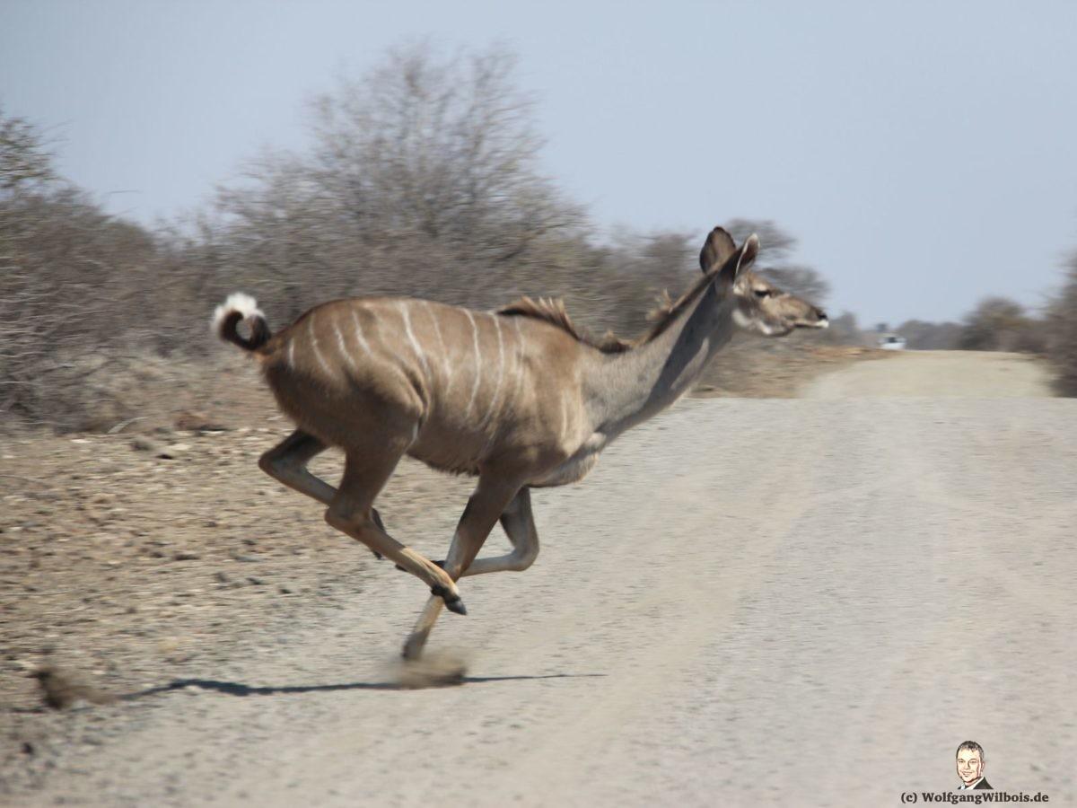 Suedafrika Krueger Nationalpark Kudu
