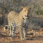 Suedafrika Krueger Nationalpark Leopard