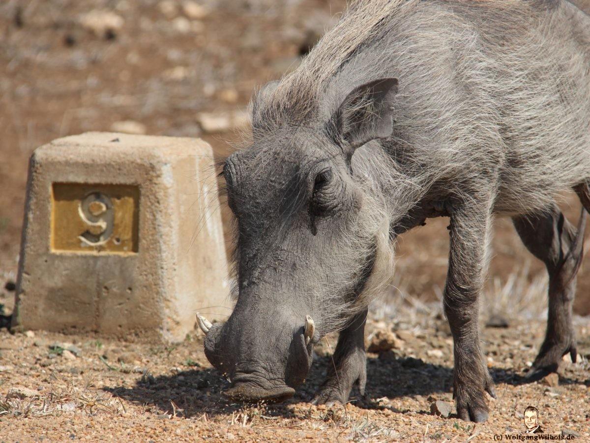 Suedafrika Krueger Nationalpark Warzenschwein