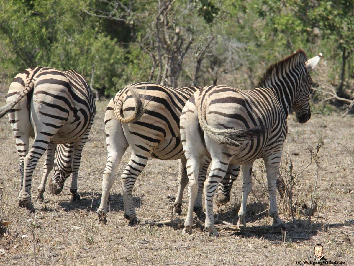 Suedafrika Krueger Nationalpark Zebras