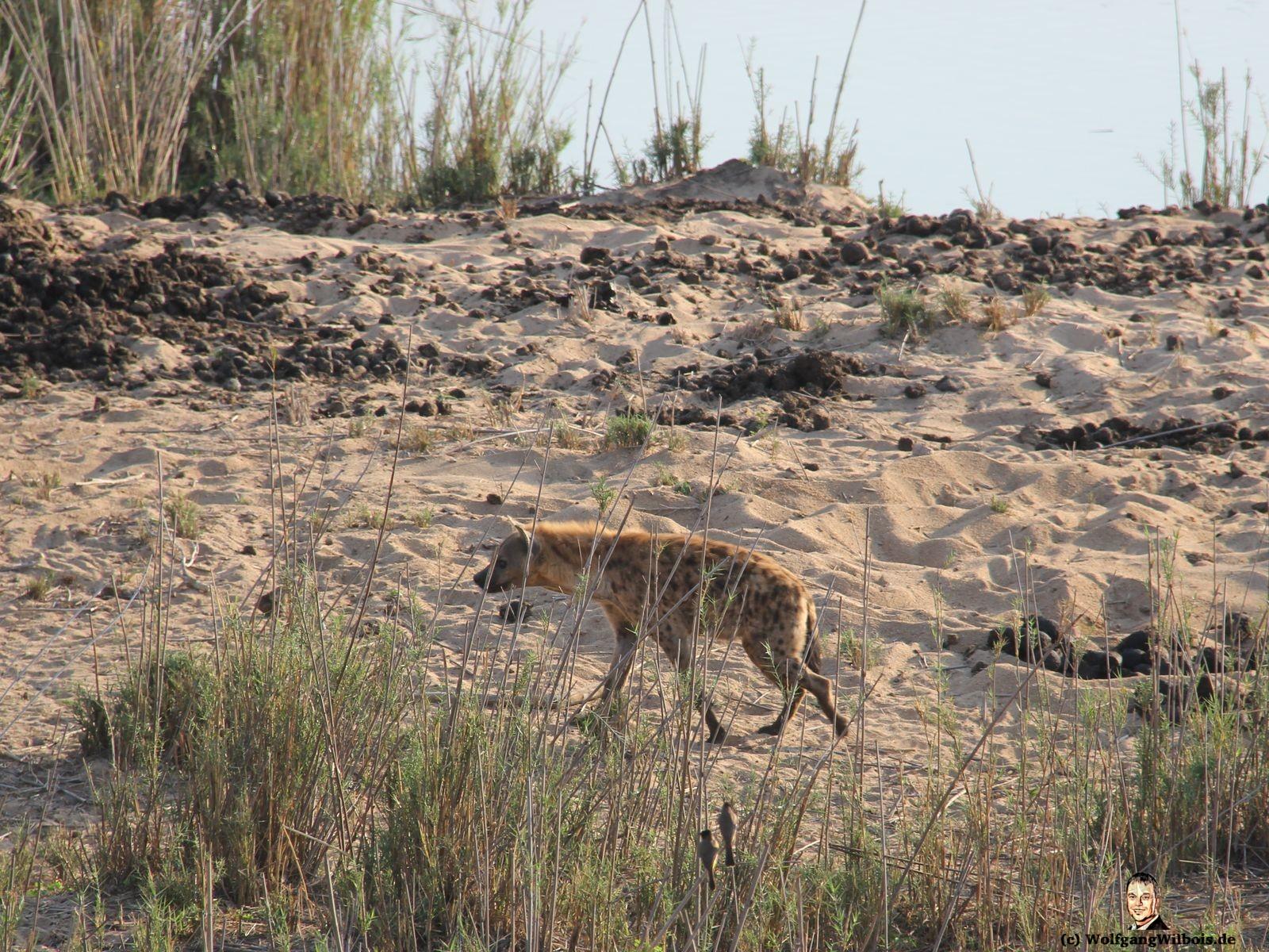 Kueger Nationalpark Hyaene Südafrika