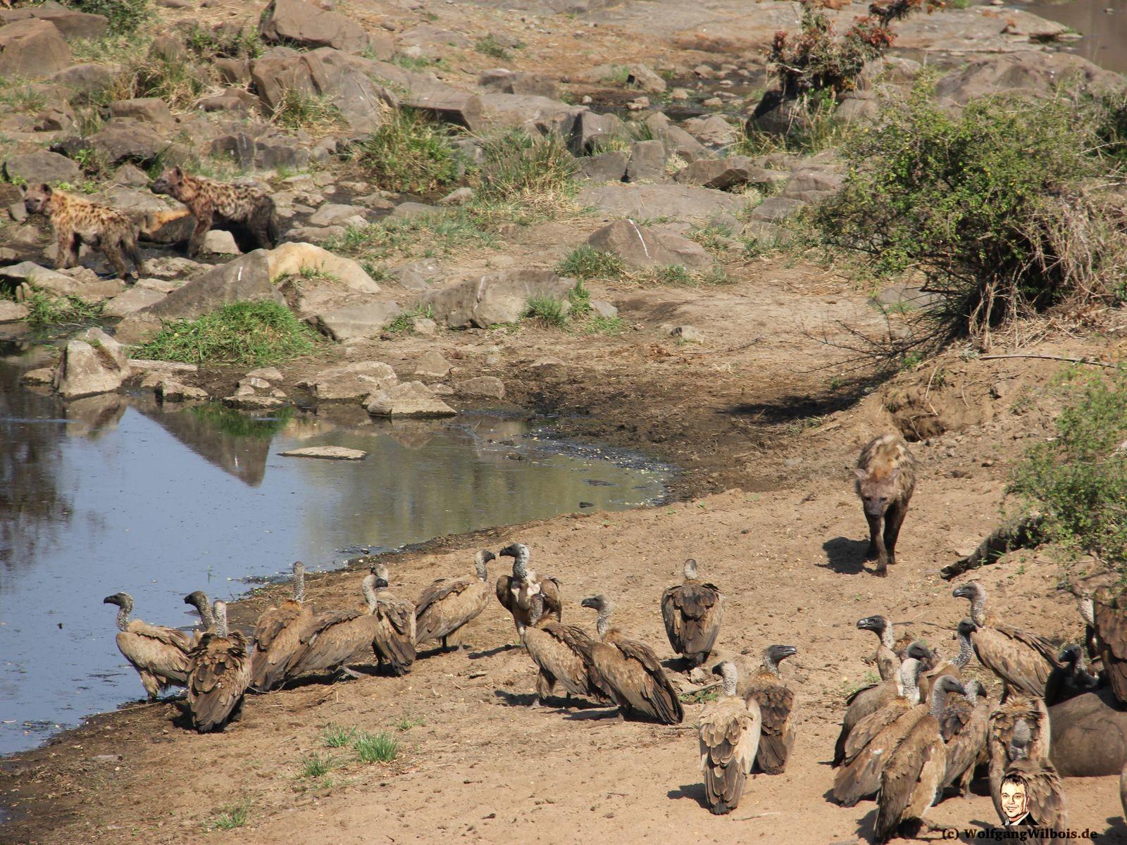 Kueger Nationalpark Hyaene Geier