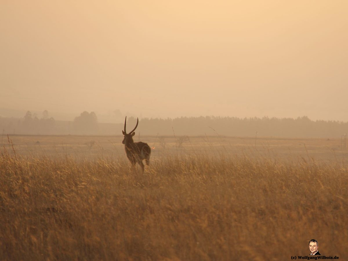 Nkomazi Game Reserve Südafrika Kudu