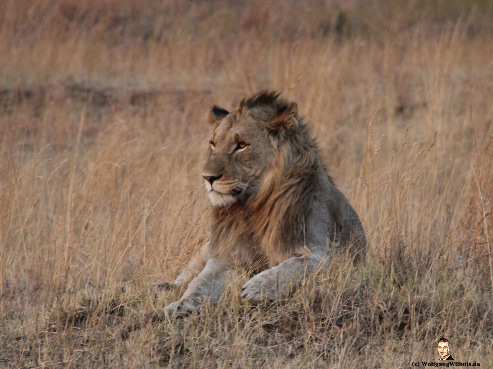 Nkomazi Game Reserve Südafrika Löwe