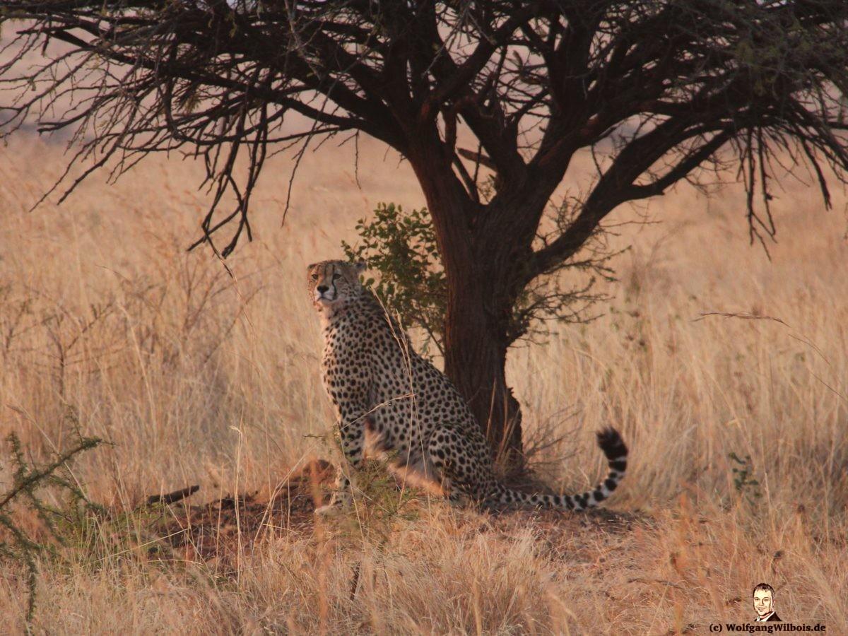 Nkomazi Game Reserve Südafrika Gepard Chetaah
