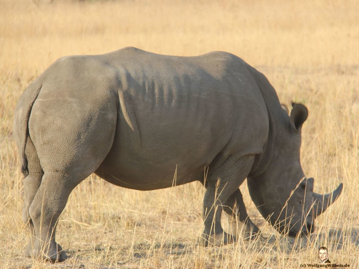 Nkomazi Game Reserve Südafrika Nashorn