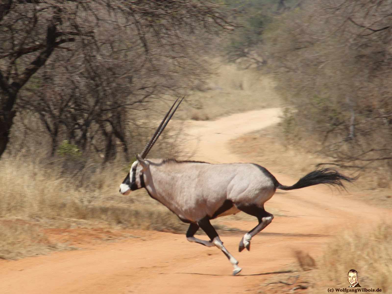Nkomazi Game Reserve Südafrika Onyxantilope