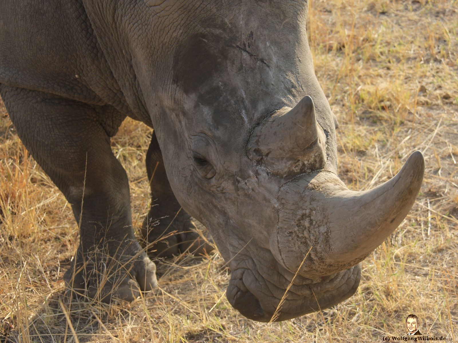Nkomazi Game Reserve Südafrika Nashorn ganz nah