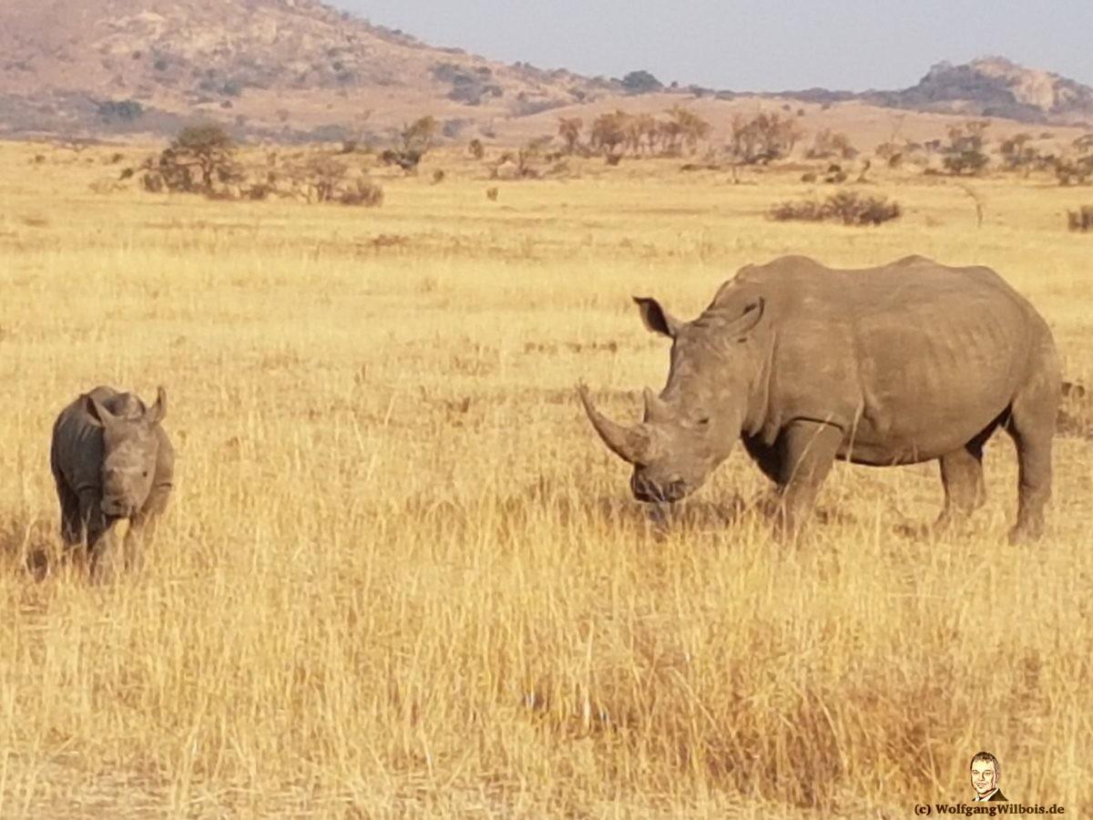 Nkomazi Game Reserve Südafrika Nashorn mit Nashornbaby