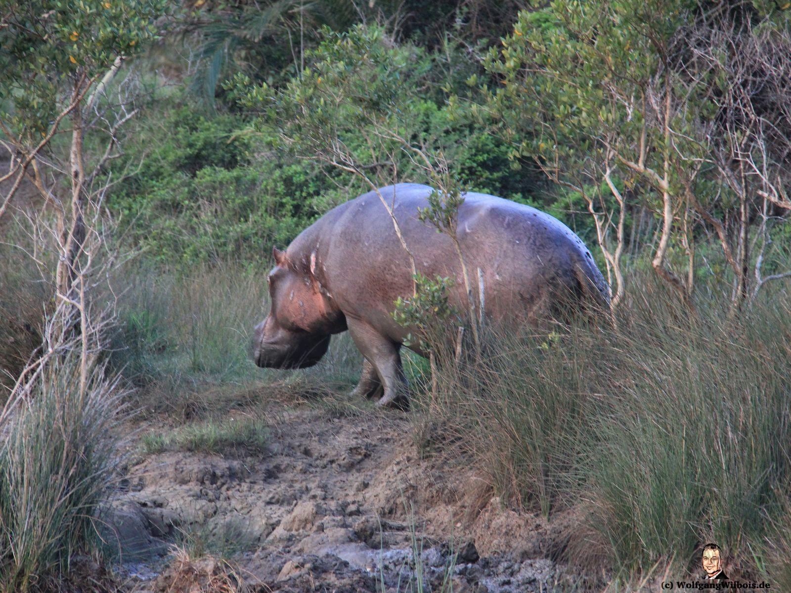 St Lucia Boot Tour Shakabarker Tour Hippos Flusspferde