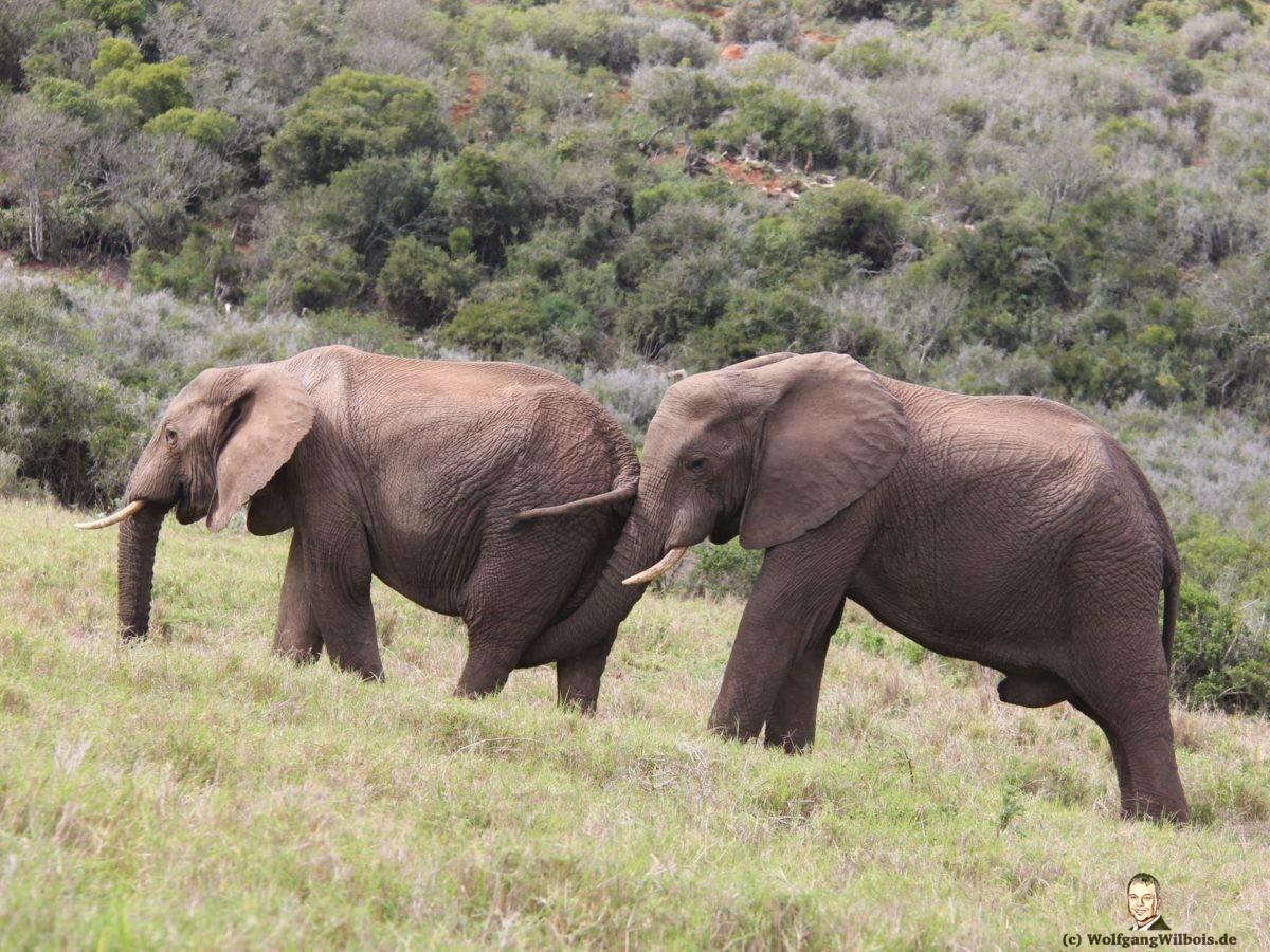 Tag 12 Addo Elefanten Park schwuler Elefant