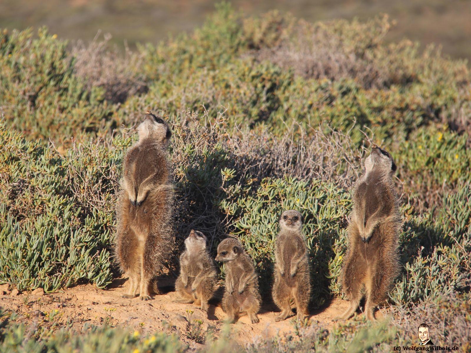 Südafrika Tag 16 Erdmaennchen mit kleinen Jungen Meerkat Adventure