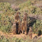 Südafrika Tag 16 Erdmaennchen