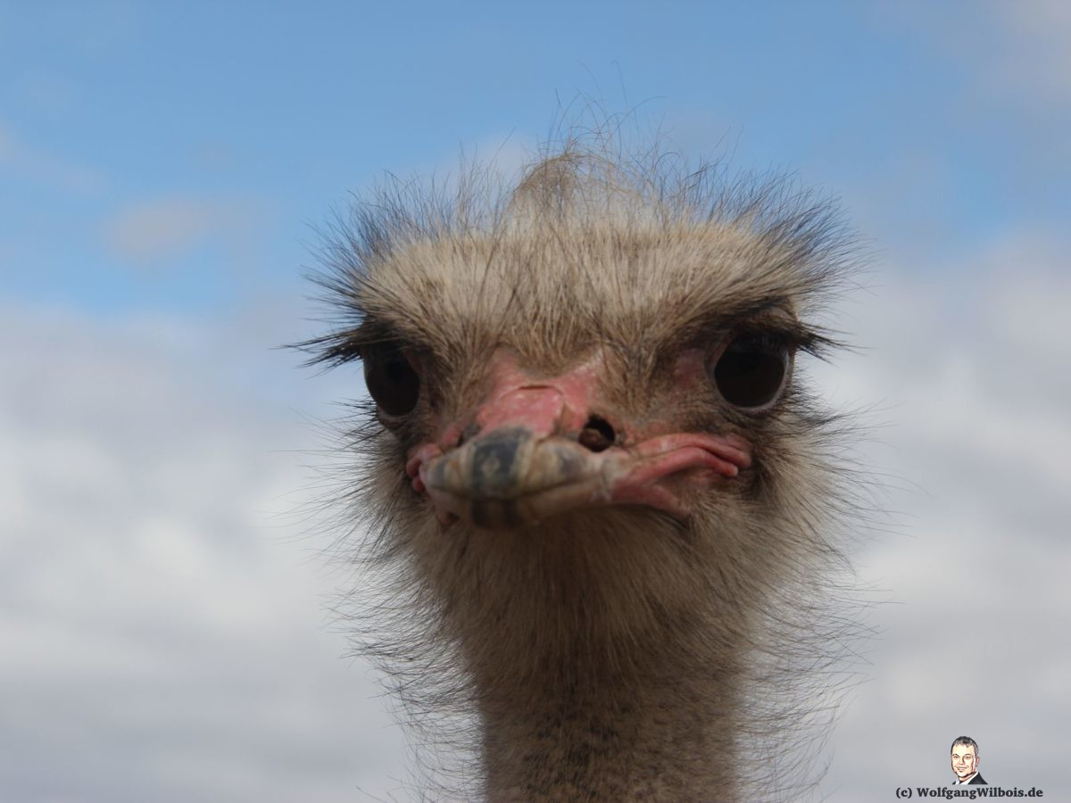 Südafrika Tag 16 Vogel Straus