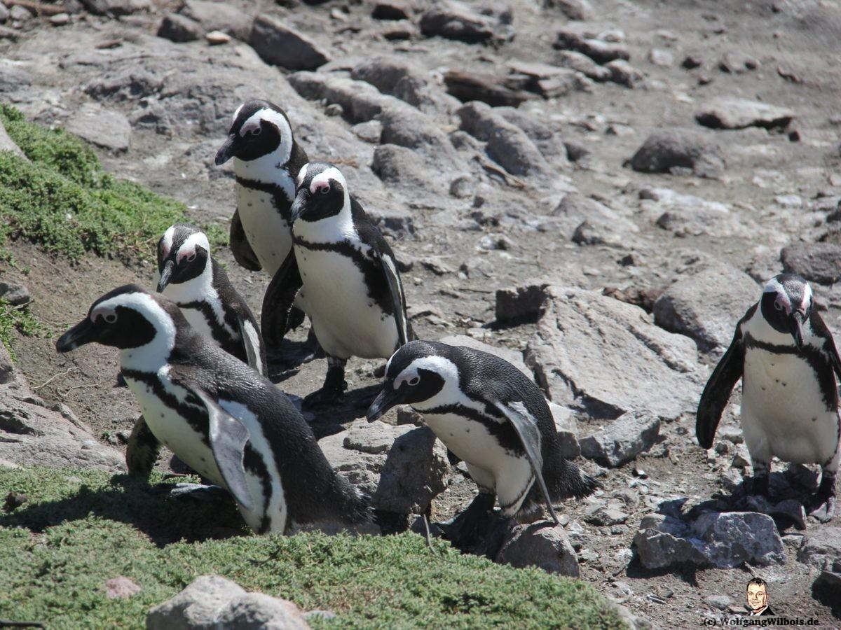 Reisebericht Südafrika Tag 17 Betty's Bay Pinguine