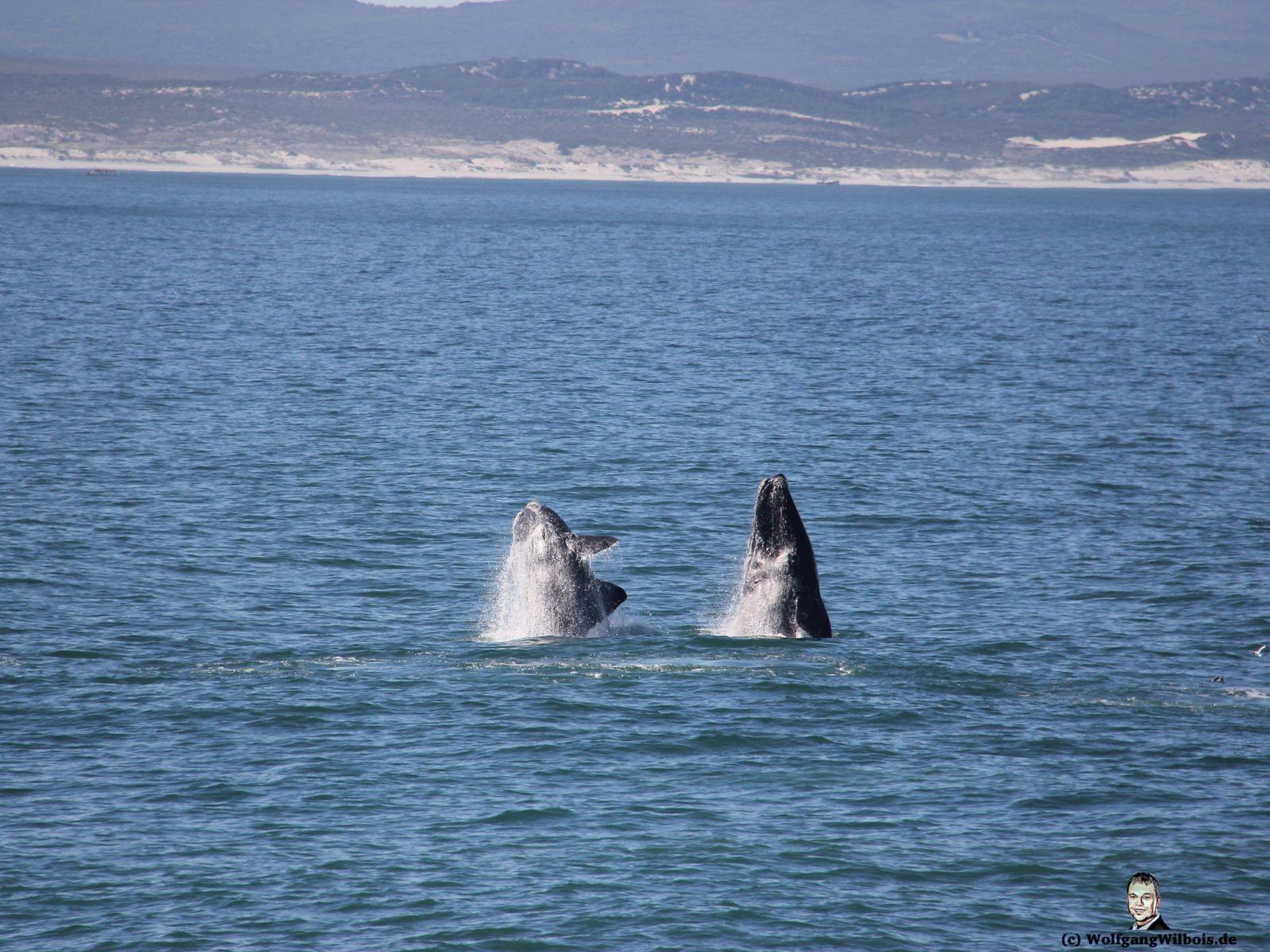 Tag 18 Hermanus Wale