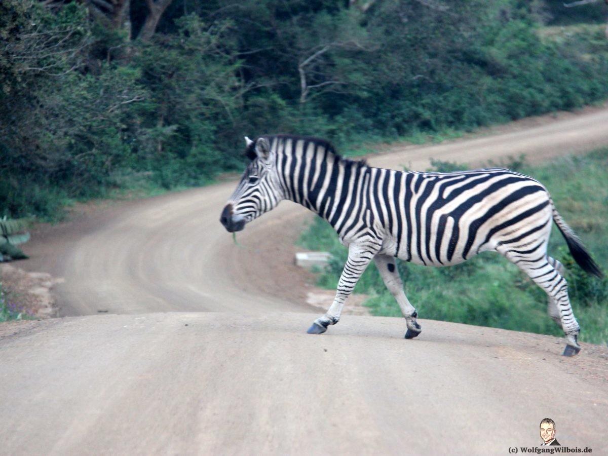 iSimangaliso Wetland Park Zebra