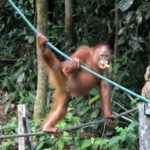 Backpacking Borneo Tag 03 Orang Utans